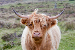 Free Highland Cow At The Side Of The Road On Dartmoor Stock Images - 70554404