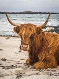 Highland Cow on Beach. Scottish highland cow lying on a beach with stormy ocean in background Stock Photo