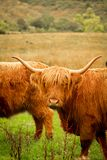 Highland cow Royalty Free Stock Photos