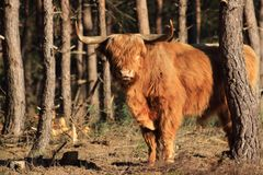 Furry highland cow bull with big horns royalty free stock images