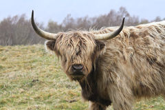 Highland cow with big horns in the wilderness Stock Image
