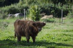 Highland cow, Bos (primigenius) taurus Royalty Free Stock Images