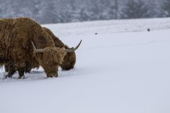 Highland cow, bos taurus, coo, cattle, young and female foraging in snow covered field within the cairngorms national park, scotla. Nd, field, march Stock Image