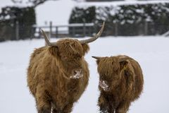 Highland cow, bos taurus, coo, cattle, young and female foraging in snow covered field within the cairngorms national park, scotla. Nd, field, march Royalty Free Stock Photography
