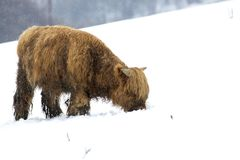 Highland cow, bos taurus, coo, cattle, young and female foraging in snow covered field within the cairngorms national park, scotla. Nd, field, march Stock Photo