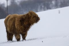 Highland cow, bos taurus, coo, cattle, young and female foraging in snow covered field within the cairngorms national park, scotla royalty free stock photo