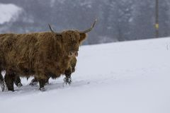 Highland cow, bos taurus, coo, cattle, young and female foraging in snow covered field within the cairngorms national park, scotla. Nd, field, march Stock Photos