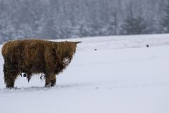 Highland cow, bos taurus, coo, cattle, young and female foraging in snow covered field within the cairngorms national park, scotla. Nd, field, march Royalty Free Stock Image