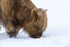 Highland cow, bos taurus, coo, cattle, young and female foraging in snow covered field within the cairngorms national park, scotla. Nd, field, march Stock Images