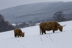 Highland cow, bos taurus, coo, cattle, young and female foraging in snow covered field within the cairngorms national park, scotla. Nd, field, march Royalty Free Stock Photo