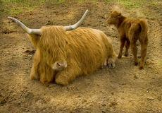 Highland Cow and Calf. A golden Highland cow with her red calf, photographed in the Highlands of Scotland Stock Photo