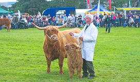 Highland cow and calf at Grantown. Highland cow and calf in the judging ring at Grantown on Spey Agricultural Show held on 10th August 2017 royalty free stock photography