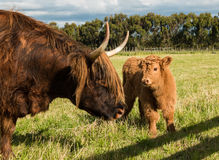 Highland Cow and Calf Stock Image