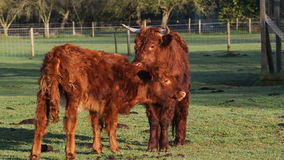 Highland cow and calf. A highland cow with long horns with a calf. The mother licking the calf