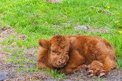 Highland Cow Calf Resting Stock Photo