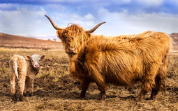 Highland Cow and Calf Royalty Free Stock Photos