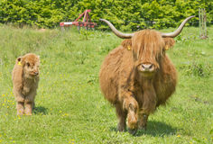 Highland cow and calf Royalty Free Stock Photography