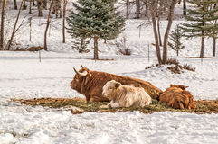 Highland Cow with Calves Stock Image