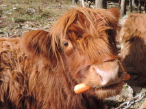 Highland Cow with carrot. Brown Highland cow eating a carrot Royalty Free Stock Photography