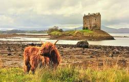 Highland cattle at Castle Stalker, Scotland stock images
