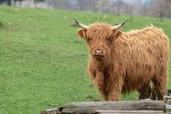 Highland cow cattle in Germany stock photos