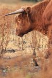 Highland cow cattle grazing dry field royalty free stock images