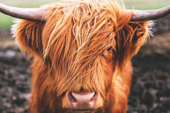 Free Highland Cow Cattle In Scotland Royalty Free Stock Photo - 90938565
