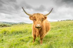 Highland Cow. Highland cattle, with their long horns and flowing coats, have spread from the west of Scotland and are instantly recognisable throughout the world Royalty Free Stock Images
