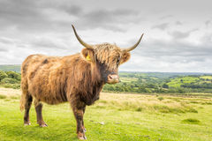Highland Cow. Highland cattle, with their long horns and flowing coats, have spread from the west of Scotland and are instantly recognisable throughout the world Royalty Free Stock Photography