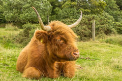 Highland Cow. Highland cattle, with their long horns and flowing coats, have spread from the west of Scotland and are instantly recognisable throughout the world Royalty Free Stock Photo