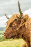 Highland Cow. Highland cattle, with their long horns and flowing coats, have spread from the west of Scotland and are instantly recognisable throughout the world Stock Image