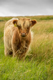 Highland Cow. Highland cattle, with their long horns and flowing coats, have spread from the west of Scotland and are instantly recognisable throughout the world Stock Photography