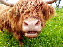 Highland cow chewing grass. Close up of grass chewing highland cow on a green meadow which tries to look through its head of hair Royalty Free Stock Photos