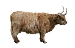 Highland cow cut-out scotland Stock Photo