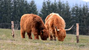 Highland cow stock footage