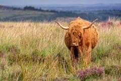 Highland cow in Dartmoor, Devon UK. Highland cow in Dartmoor, Devon, UK stock photography