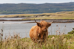 A highland cow. At Dunvegan on the Isle of Skye, Scotland Stock Image