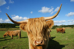 Highland cow face in farm in scottland Stock Photography