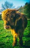 Highland Cow Stock Image