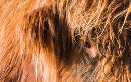 Highland Cow Stock Photos