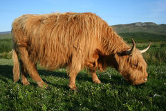 Highland cow feeding Stock Photo