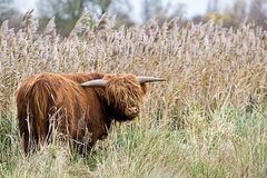 Highland Cow in a Field Stock Image