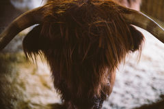 Highland Cow. A highland cow in Finnish Lapland Royalty Free Stock Photography