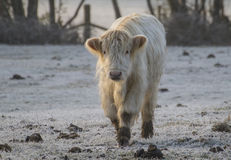 Highland cow on a frosty morning Stock Photos