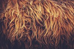 Highland Cow Fur. Background Image of a Close Up of A Highland Cow`s Fur Royalty Free Stock Photo