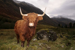 Highland cow in a Glen Coe, Scotland Royalty Free Stock Images