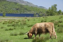 A highland cow grazes in the lush fields of Scotland. A brown hairy cow grazes in sunlight with a lake in the background in a majestic outdoor setting in royalty free stock image