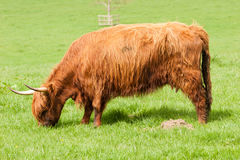 Highland cow grazing Royalty Free Stock Photo