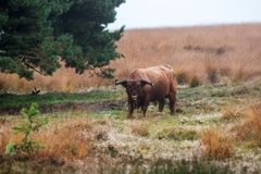 Highland cow grazing in a dutch forest stock photography