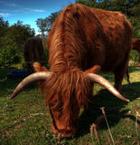 Highland cow HDR. A high dynamic range image of a hairy highland cow situated in a grazing pasture on a farm Royalty Free Stock Photos